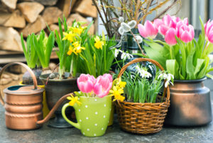 Spring flowers. Pink tulips, snowdrops and narcissus